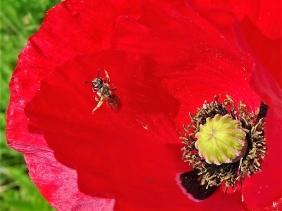 2020-04-28 LüchowSss Garten Klatschmohn (Papaver rhoeas) + kleine Wildbiene