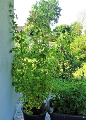 2019-06-06 LüchowSss Garten Findel-Rose