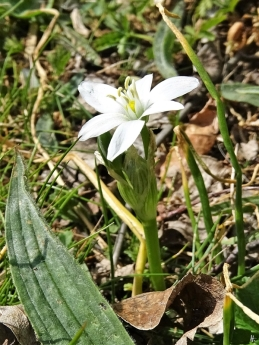 2020-04-26 LüchowSss Garten Milchstern (Ornithogalum spec.) wahrscheinlich Dolden-Milchstern (Ornithogalum umbellatum)