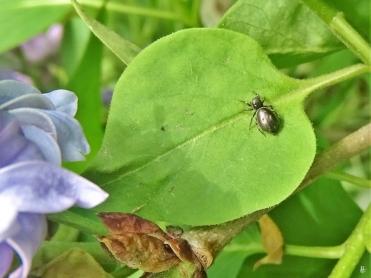 2020-04-28 LüchowSss GartenFlieder (Syringa vulgaris) + weiblicher Sonnenspringer (Heliophanus aeneus) eine Springspinne (1)