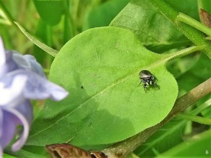 2020-04-28 LüchowSss GartenFlieder (Syringa vulgaris) + weiblicher Sonnenspringer (Heliophanus aeneus) eine Springspinne (2)