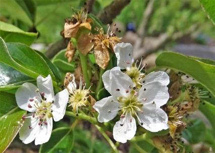Birne (Pyrus communis) 'Vereinsdechantsbirne' + letzte Blüten