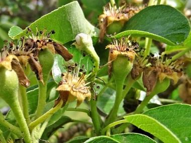 Birne (Pyrus communis) 'Vereinsdechantsbirne' mit Fruchtansätzen