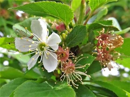 Felsenkirsche (Prunus mahaleb) eine der letzten Blüten