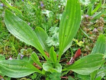 2020-04-30 LüchowSss Garten Spitzwegerich (Plantago lanceolata) (1)
