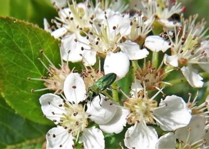 Apfelbeere (Aronia melanocarpa) + Zierlicher Prachtkäfer (Anthaxia nitidula) u.a.