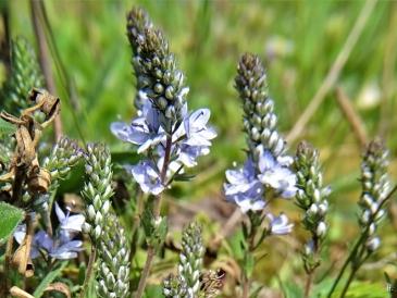 2020-05-01 LüchowSss Garten Ehrenpreis (Veronica spec.) (4) Niederliegender Ehrenpreis (Veronica prostrata)