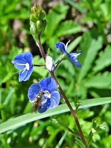 2020-05-01 LüchowSss Garten Gamander-Ehrenpreis (Veronica chamaedrys) + Ehrenpreis-Sandbiene (Andrena viridescens)