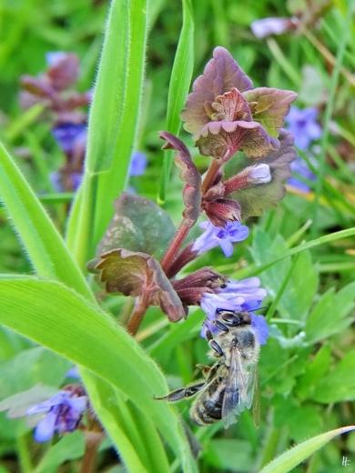 2020-05-01 LüchowSss Garten Gundermann (Glechoma hederacea) mit Europäischer Honigbiene (Apis mellifera) (2)