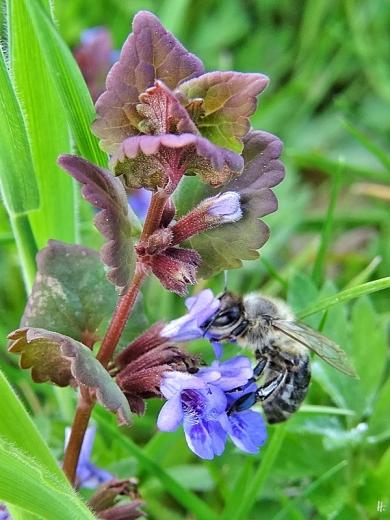 2020-05-01 LüchowSss Garten Gundermann (Glechoma hederacea) mit Europäischer Honigbiene (Apis mellifera) (4)