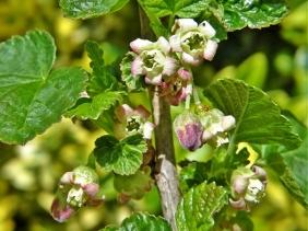 2020-05-01 LüchowSss Garten Schwarze Johannisbeere (Ribes nigrum)