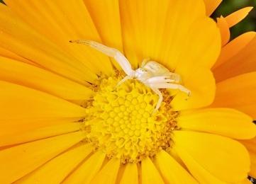 2020-05-01 LüchowSss Garten Veränderliche Krabbenspinnen (Misumena vatia f.) + Ringelblume (Calendula officinalis) (3)