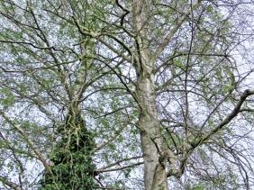 2020-05-03 LüchowSss Garten Birken (Betula)