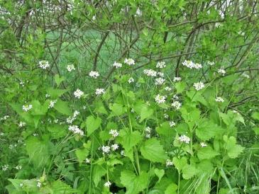 2020-05-03 LüchowSss unterwegs Knoblauchsrauke (Alliaria petiolata) am Wegrand (2)
