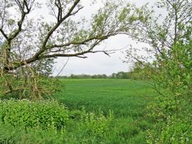 2020-05-03 LüchowSss unterwegs Knoblauchsrauke (Alliaria petiolata) am Wegrand (3)
