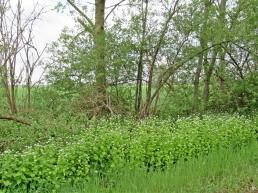 2020-05-03 LüchowSss unterwegs Knoblauchsrauke (Alliaria petiolata) am Wegrand (4)