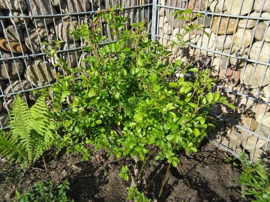 2020-05-05 LüchowSss Garten Findelrose (1)
