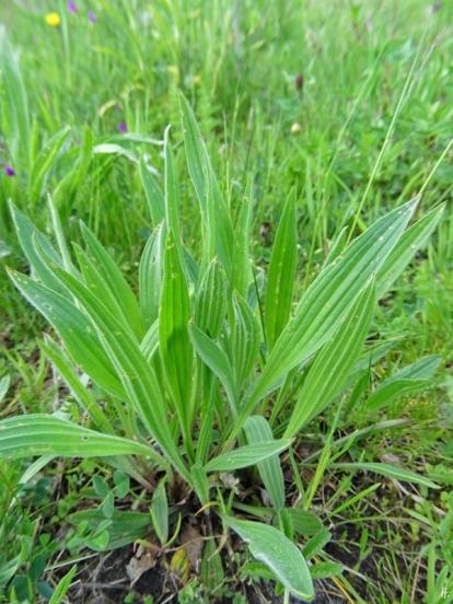 2020-05-05 LüchowSss Garten Spitzwegerich (Plantago lanceolata) (1)