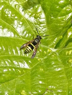 2020-05-07 LüchowSss Garten Mauer-Lehmwespe (Ancistrocerus nigricornis) auf Weinblatt
