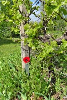 2020-05-07 LüchowSss Garten Mohnblume neben Wein