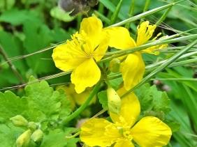 2020-05-07 LüchowSss Garten Schöllkraut (Chelidonium majus) + Baumhummel (Bombus hypnorum)
