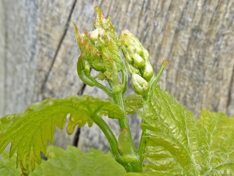 2020-05-07 LüchowSss Garten Wein mit Knospen (Spanische Rebe) (2)