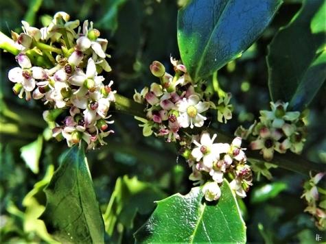 2020-05-09 LüchowSss Garten Europäische bzw. Gewöhnliche Stechpalme (Ilex aquifolium) (1)