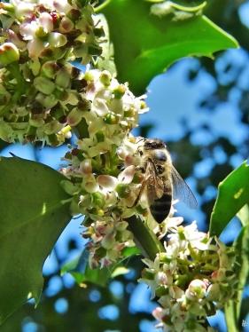 2020-05-09 LüchowSss Garten Europäische bzw. Gewöhnliche Stechpalme (Ilex aquifolium) + Euopäische Honigbiene (Apis mellifera) (2)