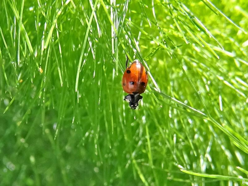 2020-05-09 LüchowSss Garten Fenchel (Foeniculum vulgare) + Siebenpunkt-Marienkäfer (Coccinella septempunctata) (1)