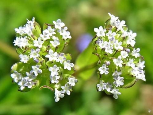 2020-05-09 LüchowSss Garten Gewöhnlicher Feldsalat (Valerianella locusta) (2)