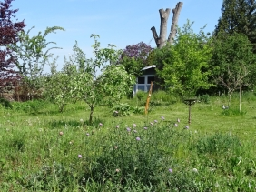 2020-05-10 LüchowSss Garten Acker-Witwenblume (Knautia arvensis) auf Wiesen-Insel (3)