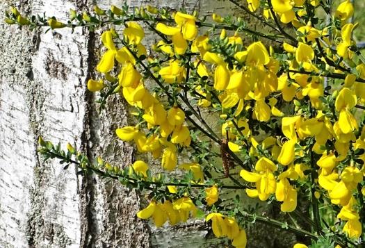 2020-05-10 LüchowSss Garten Besenginster (Cytisus scoparius) an der Birke