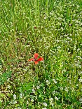 2020-05-10 LüchowSss Garten Feldsalat (Valerianella locusta) + Sandmohn (Papaver argemone) (1)