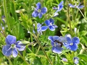 2020-05-10 LüchowSss Garten Gamander-Ehrenpreis (Veronica chamaedrys )mit Ehrenpreis-Sandbiene (Andrena viridiscens)