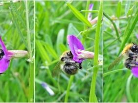 2020-05-14 LüchowSss Garten Ackerhummel (Bombus pascuorum) an Schmalblättriger Wicke (Vicia angustifolia syn. V. sativa var. angustifolia) (1x3)