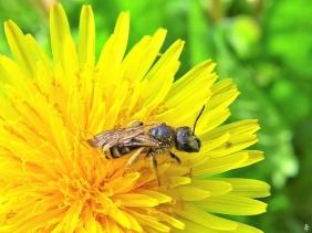 2020-05-14 LüchowSss Garten Wildbiene (evtl. Furchenbiene) auf Löwenzahn