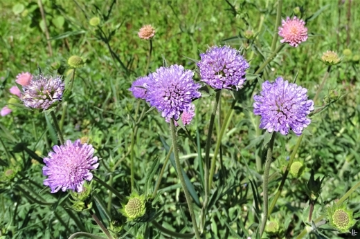 2020-05-15 LüchowSss Garten Ackerwitwenblumen (Knautia arvensis) (1)
