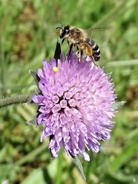 2020-05-15 LüchowSss Garten Ackerwitwenblumen (Knautia arvensis) + Wildbiene, vermutl. Gemeine Seidenbiene (Colletes daviesanus) (2)