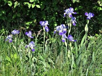 2020-05-15 LüchowSss Garten Bauerngarten-Bartiris (Iris barbata) (1)