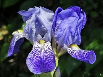 2020-05-15 LüchowSss Garten Bauerngarten-Bartiris (Iris barbata) (2)