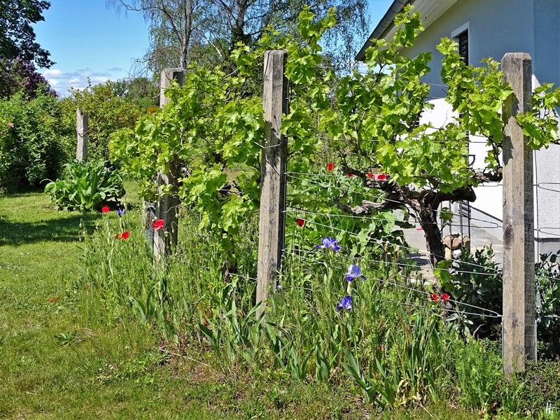 2020-05-15 LüchowSss Garten Wein-Spalier + Mohnblumen + Bartiris
