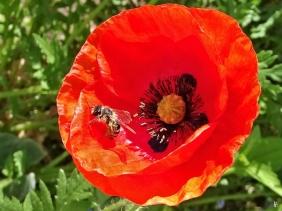 2020-05-15 LüchowSss Garten Wildbiene im Klatschmohn (Papaver rhoeas)