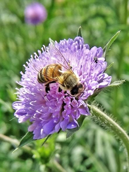 2020-05-16 LüchowSss Garten Acker-Witwenblume (Knautia arvensis) + Europäische Honigbiene (Apis mellifera)