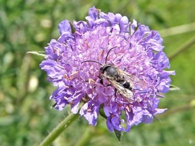 2020-05-16 LüchowSss Garten Acker-Witwenblume (Knautia arvensis) + Wildbiene (2)