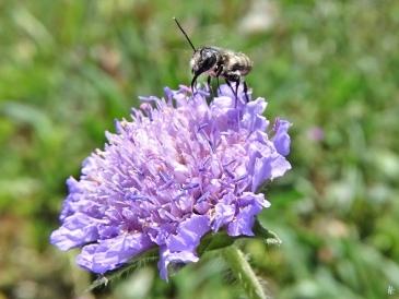 2020-05-16 LüchowSss Garten Acker-Witwenblume (Knautia arvensis) + Wildbiene (3)