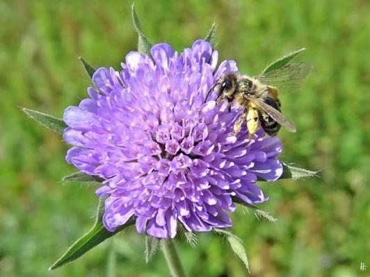 2020-05-16 LüchowSss Garten Acker-Witwenblume (Knautia arvensis) + Wildbiene, vermutl. Gemeine Seidenbiene (Colletes daviesanus) (5)