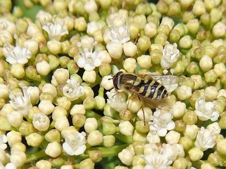 2020-05-16 LüchowSss Garten Gemeiner Schneeball (Viburnum opulus) + Grosse bzw. Garten-Schwebfliege (Syrphus ribesii)