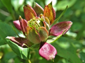 2020-05-16 LüchowSss Garten Grüne Rose Viridiflora, auch Rosa chinensis Jacq. 'Viridiflora'