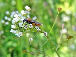 2020-05-16 LüchowSss Garten Hirtentäschel + weibl. Garten-Haarmücke (Bibio hortulanus) (3)