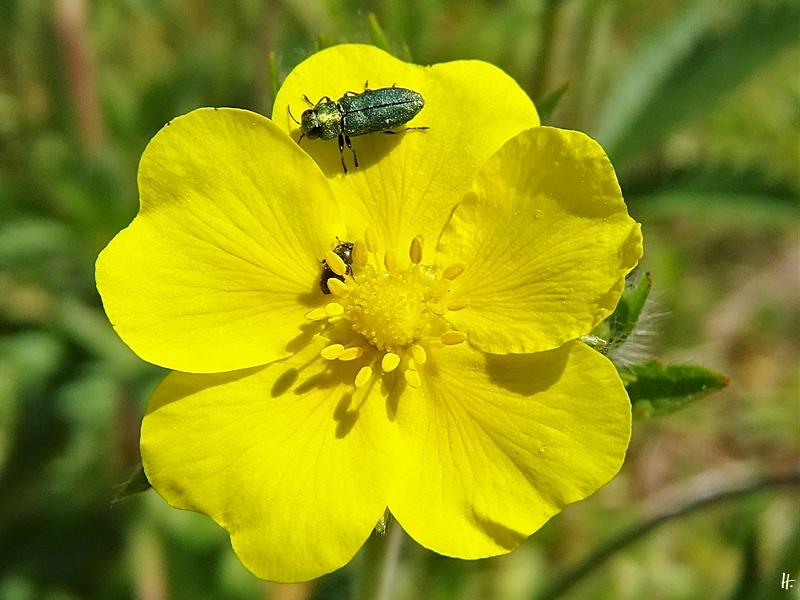 2020-05-16 LüchowSss Garten Hohes bzw. Aufrechtes Fingerkraut (Potentilla recta) + Glänzender Blütenprachtkäfer (Anthaxia nitidula) männlich